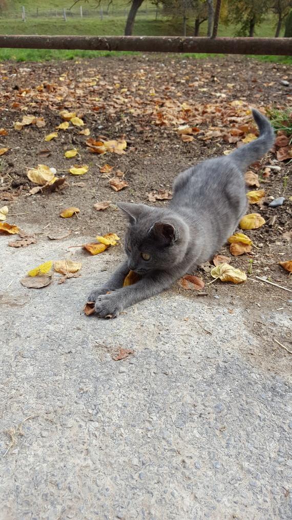 Chaton gris