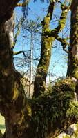 Sapin sur arbre