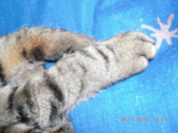 chipie, chat de aurore
