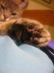 feline, 2 ans, chat de triipatee-5