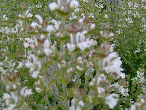 Quiz rose - Salvia involucrata et collection Sauges-a-aethiopis-3-img