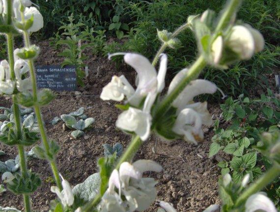 Quiz rose - Salvia involucrata et collection Sauges-a-argentea-4-img
