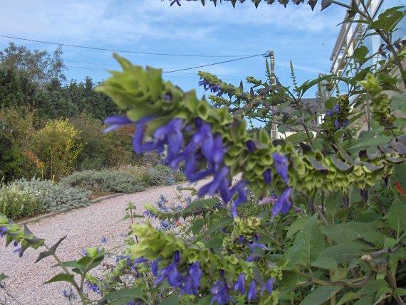 Quiz rose - Salvia involucrata et collection Sauges-a-atrocyanea-1-img