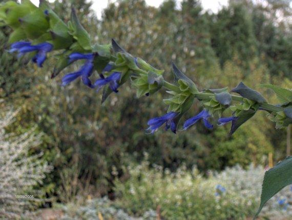 Salvia atrocyanea Sauges-a-atrocyanea-img