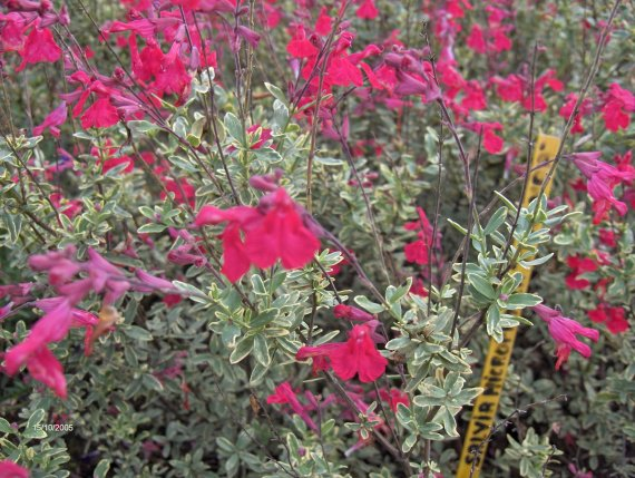 quelques salvia microphylla Sauges-m-microphylla-caramba-img
