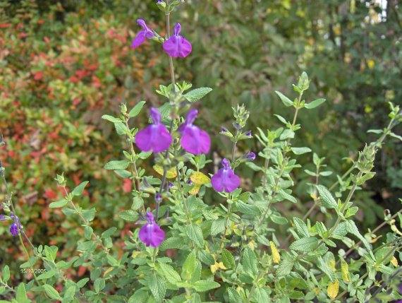 quelques salvia microphylla Sauges-m-microphylla-chamaedryoides-007-img