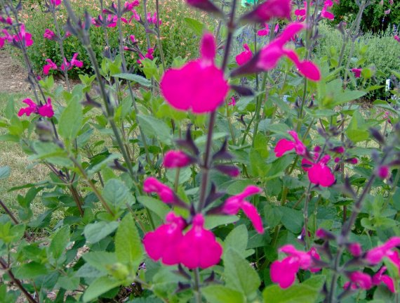 quelques salvia microphylla Sauges-m-microphylla-hoja-grande-img