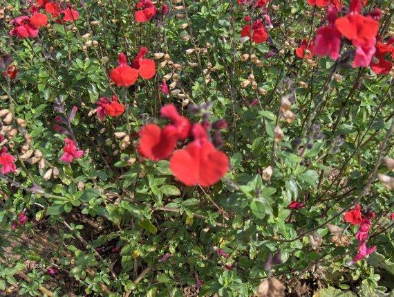 quelques salvia microphylla Sauges-m-microphylla-royal-bomble-img