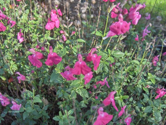 quelques salvia microphylla Sauges-m-microphylla-wild-watermelon-img