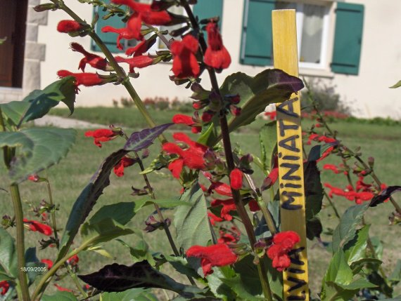 Salvia miniata Sauges-m-miniata-img