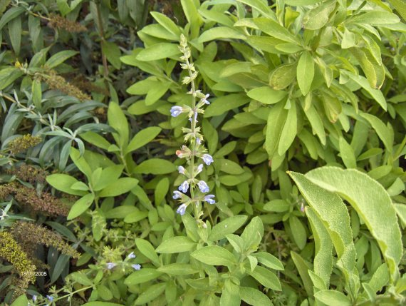 quelle sauge ? [Salvia concolor] Sauges-s-somaliensis-img