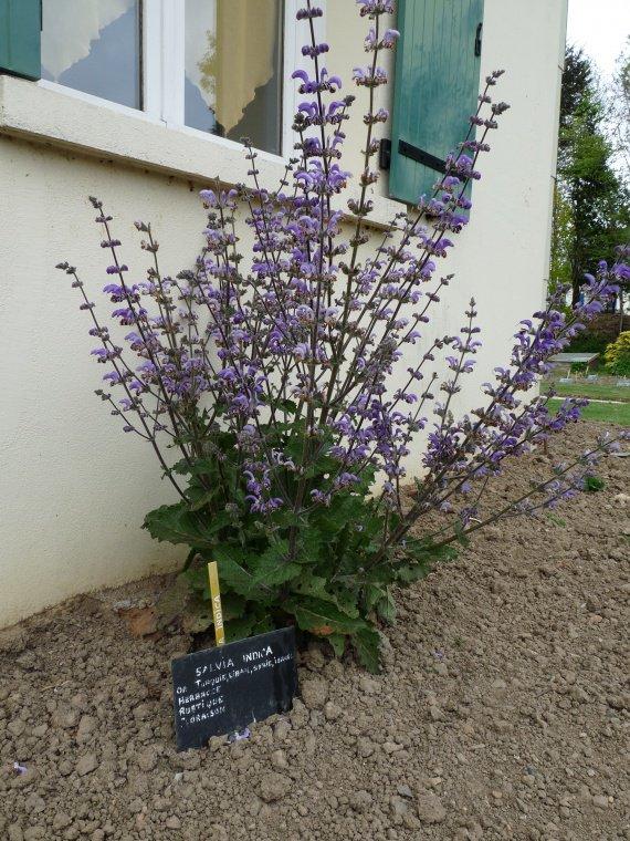 Salvia indica Sauges-i-indica-5-img