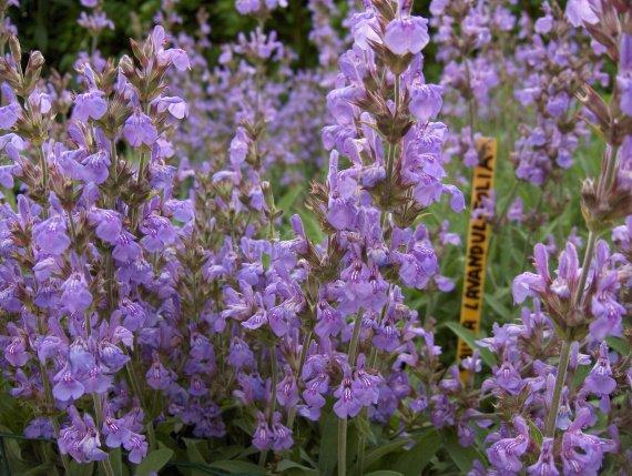 Salvia lavandulifolia Sauges-lavandulifolia-01-img