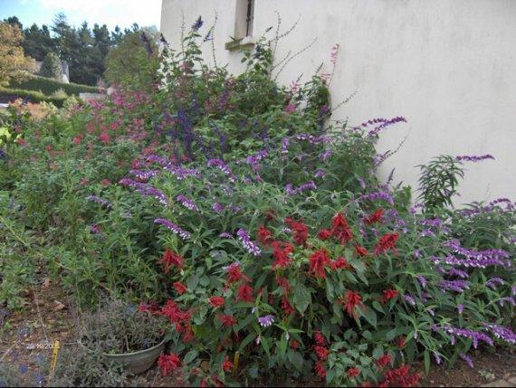 les sauges Fleurs-floraison-29-2005-img