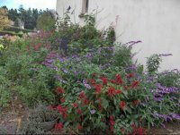 Quiz rose - Salvia involucrata et collection Fleurs-floraison-29-2005-tns0