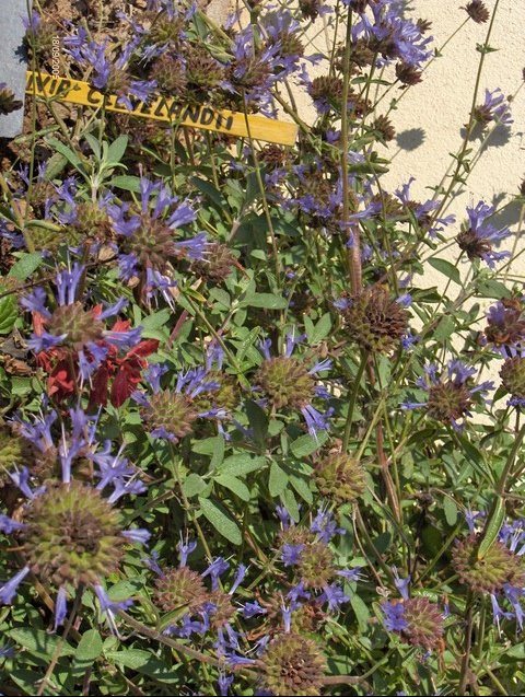 Salvia clevelandii Sauges-c-s-clevelandii-01-img