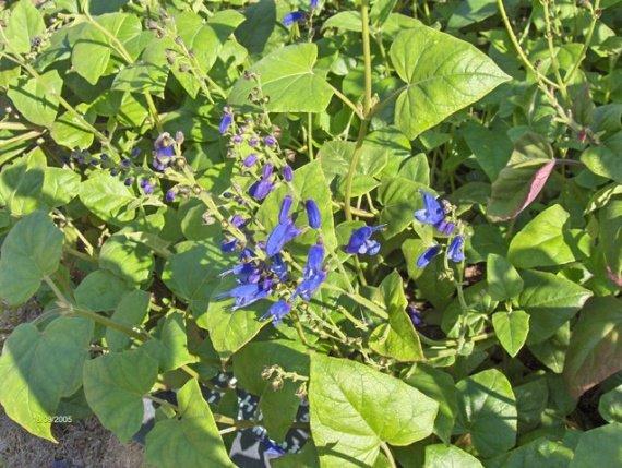 Quiz rose - Salvia involucrata et collection Sauges-c-s-cacaliifolia-img