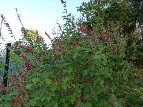 floraison du 1 novembre Sauges-2011-p1060241-img