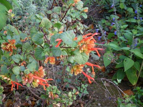 floraison du 1 novembre Sauges-2011-p1060248-img