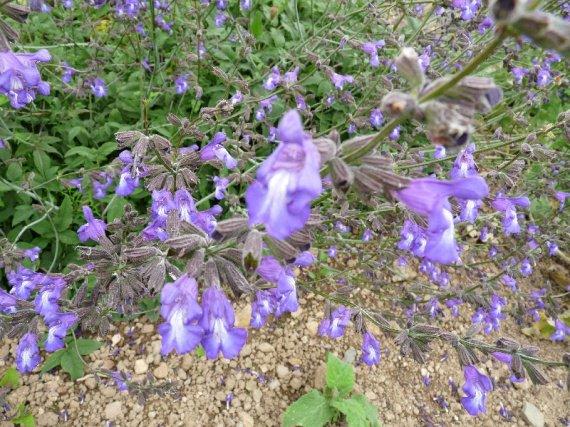 Salvia ringens Sauges-2012-ringens-img