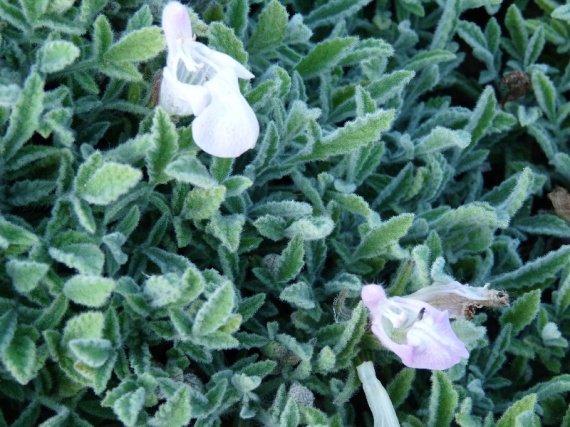 Salvia caespitosa Sauges-2012-salvia-caespitosa-img