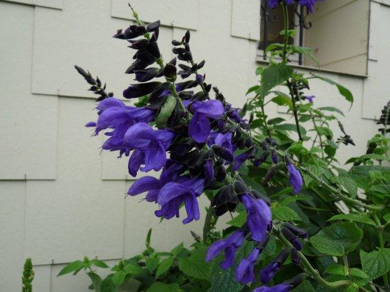 quelle sauge ? [Salvia concolor] Sauges-2012-salvia-guaranitica-1-img