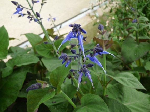 salvia macrophylla Sauges-2012-salvia-macrophylla-img