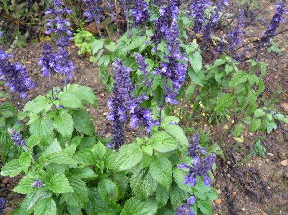 SALVIA MYSTIC SPIRES BLUE Sauges-2012-salvia-mystic-spires-img