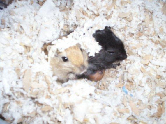 chouquette et moon dans le nid avec petits entrain de têter3