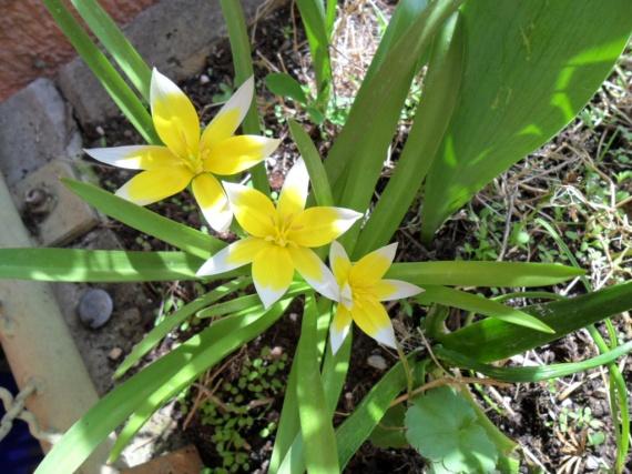 tulipes étoilées