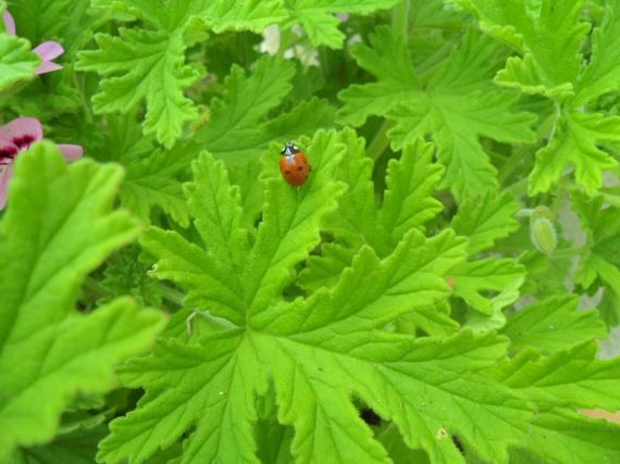 feuilles géraniums