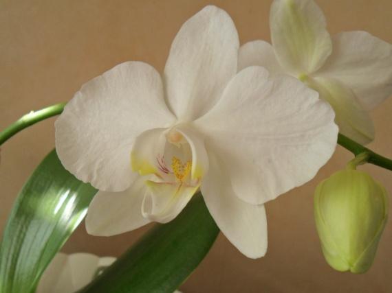 orchidée blanche