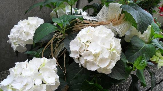 hortensias neige