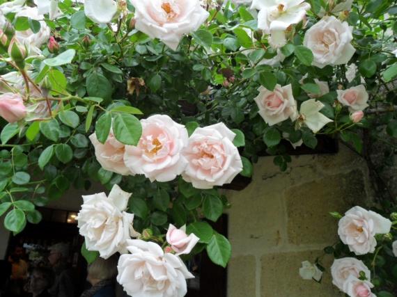 Roses parfumées
