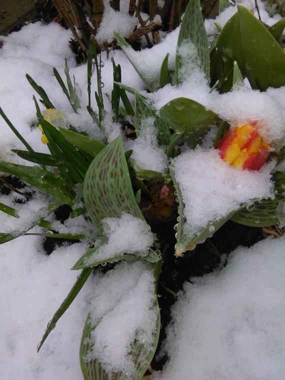 tulipes précoces