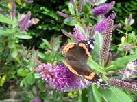 papillon sur véronique