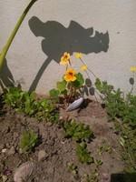 capucine sous ombre arum
