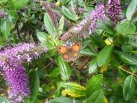 papillon sur véroniques