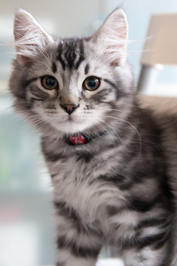 our_cat__odin_by_kalarm-d691yeg