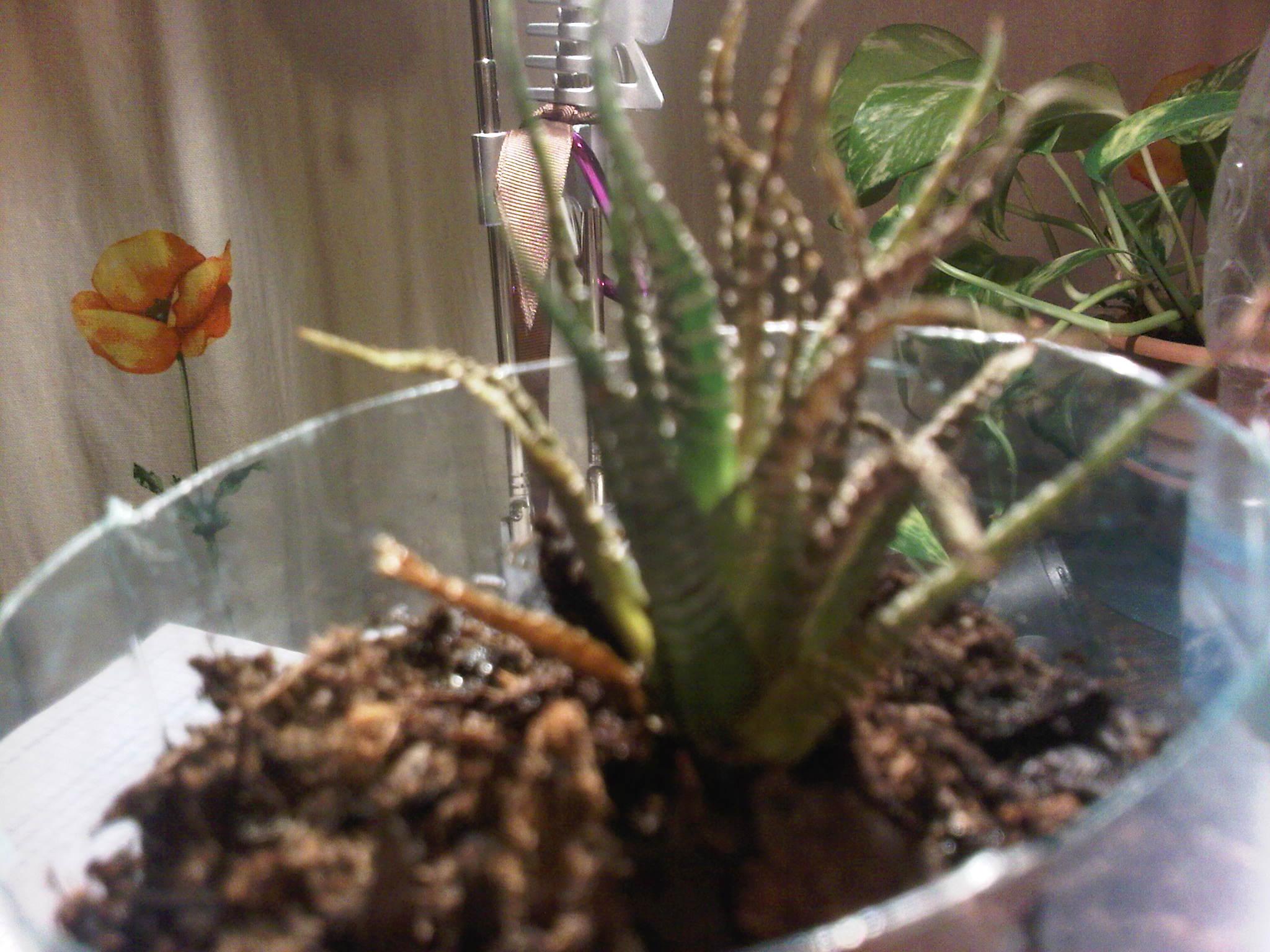 mon cactus est entrain de mourir - jardinage - forum vie pratique