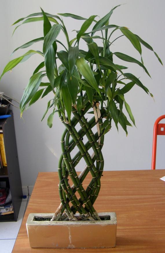 Mes bambous