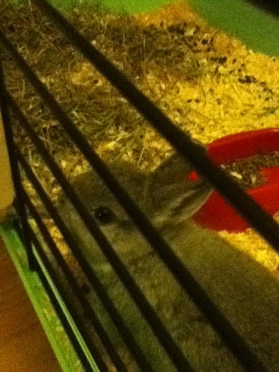 pitchoune dans sa cage