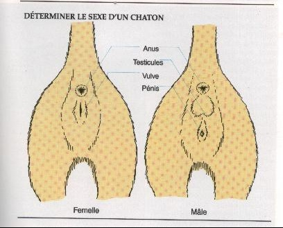 determiner sex dun chaton