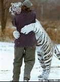 le bisous du tigre