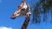 il y a 3 girafes