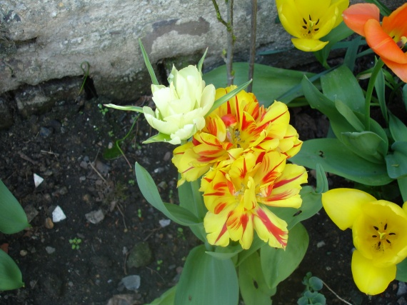 narcisses tulipes et jonquilles le jardin et son volution feerie59 photos club. Black Bedroom Furniture Sets. Home Design Ideas