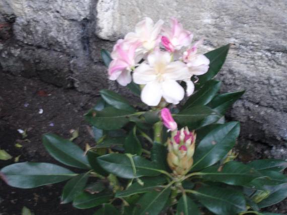 Fleuraison du rhododendron