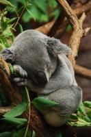Zoo Koala © Florent