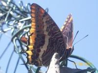 100_1912jolie papillon