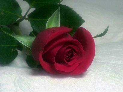 rose-3956796417